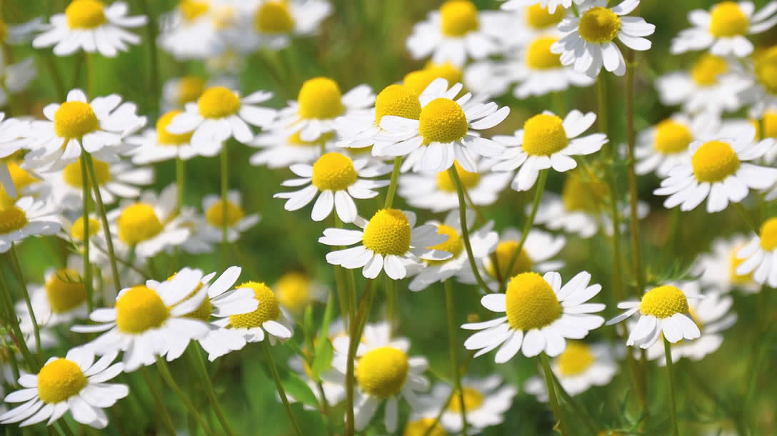 Chamomile Benefits And Side Effects