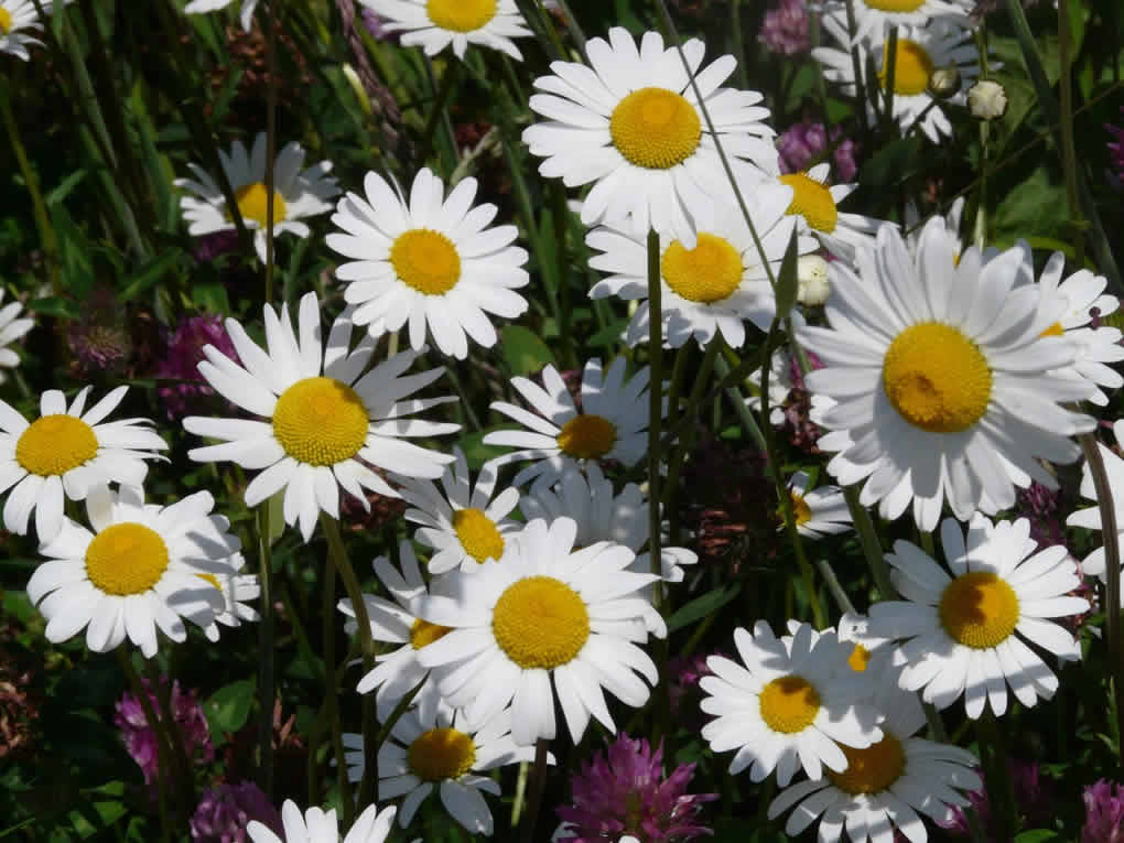 Feverfew Benefits And Side Effects