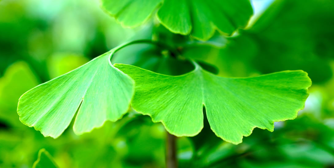What Are The Side Effects Of Ginkgo